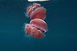 Jellyfish food of leatherback turtles.