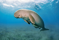 Dugong, Sea Cow, swimming to the surface to breathe, snorkelers, Egypt, Red Sea, Indian Ocean