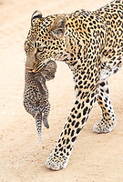 We were fortunate to witness a female leopard moving her (1-2 week old?) cubs to a new den site at MalaMala. Eleven years prior, Jenn and I had see another leopard moving her cub at MalaMala, so this was pretty special for us to witness again.<br /> <br /> Photo © Jennifer Waugh