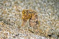 Spotted seahorse, Hippocampus kuda, Bunaken Marine Park, North Sulawesi, Indonesia, Pacific Ocean, vulnerable