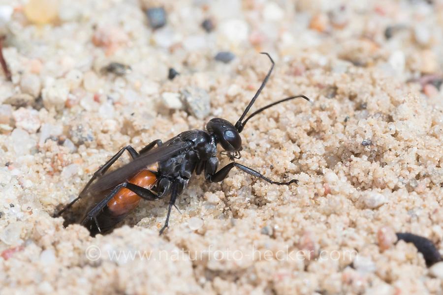 Wegwespe, Weg-Wespe, an Neströhre im Sand, Nest , Niströhre, Röhre, Arachnospila spec., spider wasp, Wegwespen, Pompilidae, pompilids, spider-hunting wasps, spider wasps