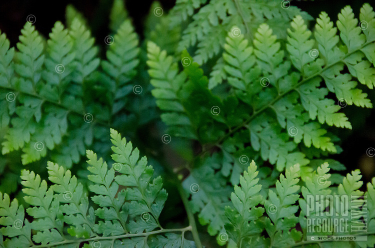 A close-up view of indigenous palapali ferns (Microlepia strigosa) are seen throughout Kalopa State Park on the native plant loop trail, Hamakua Coast, Big Island.