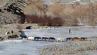 Horses return from the mountains after a day of grazing.