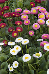 BELLIS PERENNIS GALAXY MIX, ENGLISH DAISY