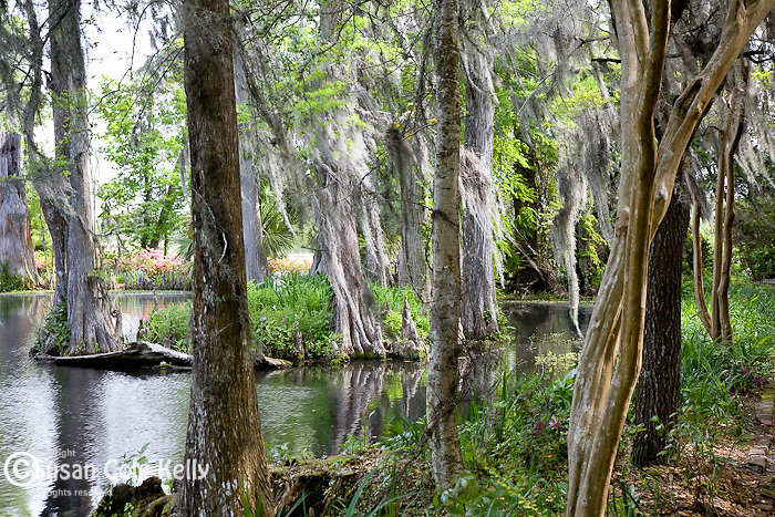 Spanish moss and Cypress swamp, the gardens at Magnolia Plantation, Ashley River Road, Charleston, SC