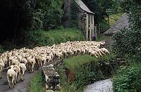 Europe/France/Midi-Pyrénées/09/Ariège/Couserans/St-Lary: Troupeau de brebis et berger