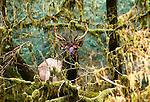 Roosevelt elk, Hoh Rainforest, Olympic National Park, Washington