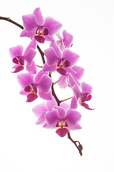 A high key presentation of an orchid.