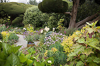Beautiful California cottage garden mixed border with pruned Monterey Cypress, scented Geranium, Pittosporum, and Oak leaf Hydrangea (right foreground). Sally Robertson Garden.