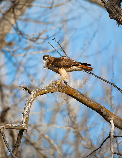 a red tailed hawk with a mole in its talons perched in a cottonwood tree in montana