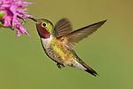 Broad-tailed Hummingbird at Flower