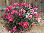 Playgirl Rose Bush, Rosa hybrid, floribunda