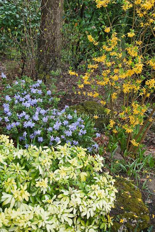 Rhododendron blue flowers, forsythia in spring bloom with Choisya shrub for a fresh spring blooming garden scene