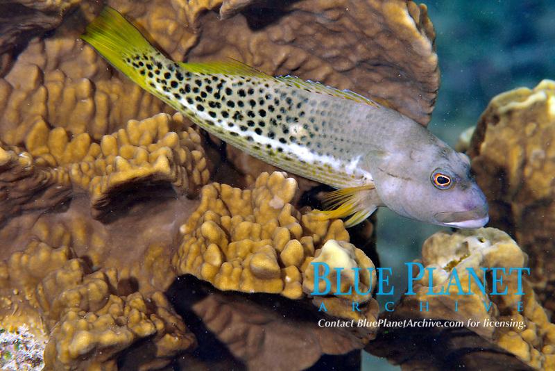 Halfspotted hawkfish, Paracirrhites hemistictus, Pohnpei, Federated States of Micronesia