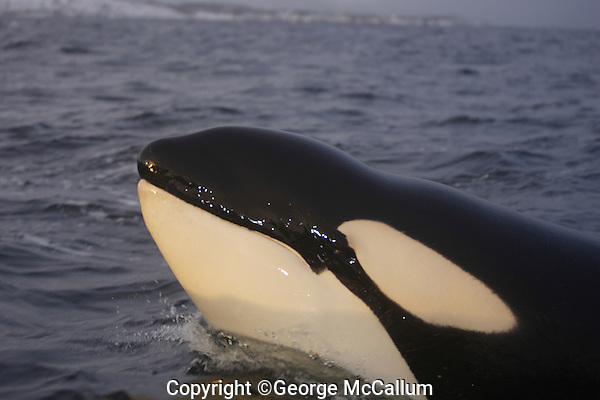 Killer whale, Orcinus orca, Juvenile lunging closeup. Tysfjord, Arctic Norway