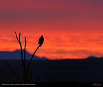 Bald Eagle at Sunrise, Bosque del Apache Wildlife Refuge, New Mexico