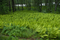 Fields of ferns flash by as the train rolls along the Susitna River.