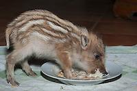 Wildschwein, verwaistes, pflegebedürftiges, in Menschenhand gepflegtes, zahmes Jungtier frisst in Milch aufgeweichten Zwieback vom Teller, Wild-Schwein, Schwarzwild, Schwarz-Wild, Frischling, Junges, Jungtier, Tierkind, Tierbaby, Tierbabies, Schwein, Sus scrofa, wild boar, pig