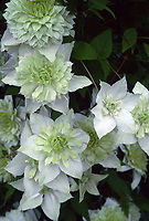 Clematis florida 'Alba Plena', double flowered white and flushed green climbing perennial vine