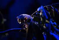 BNPS.co.uk (01202 558833)<br /> Picture: ZacharyCulpin/BNPS<br /> <br /> Pictured: The Loris under moody night light at Longleat<br /> <br /> A slender loris can be seen stargazing as part of a new attraction at a British safari park showing off its nocturnal animals.<br /> <br /> The tiny 10ins long, 275 grams primate, which is native to India, has huge brown eyes to hunt insects in the dark.<br /> <br /> The creatures, which spend most of their lives in trees but can't jump, are endangered in the wild due to a loss of habitat and poaching.<br /> <br /> Longleat Safari Park in Wilts is looking after a male and female of the species in an indoor enclosure set against the backdrop of a 20ft suspended replica of the moon by UK artist Luke Jerram.