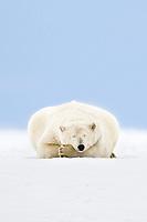 Polar bear sleeps on the snow covered arctic barrier island in Alaska's Beaufort Sea, Arctic National Wildlife Refuge.