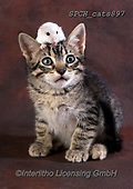 Xavier, ANIMALS, REALISTISCHE TIERE, ANIMALES REALISTICOS, cats, photos+++++,SPCHCATS897,#a#, EVERYDAY