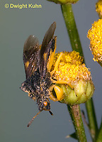 AM11-500z  Ambush Bug, flying from flower, Phymata americana