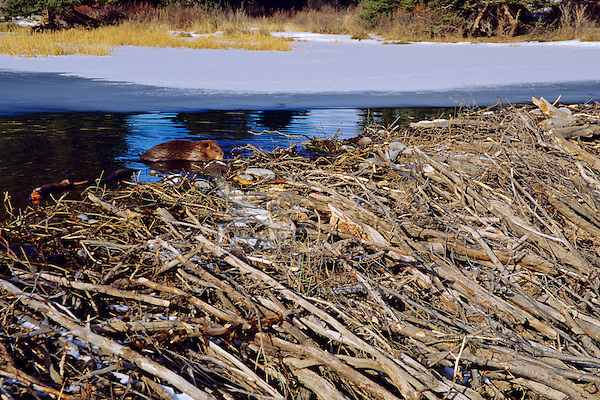 Beaver (Castor canadensis) working on dam.  November.  Western U.S.