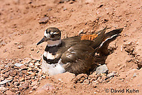 0510-1118  Killdeer, Adult Sitting on Eggs, Charadrius vociferus  © David Kuhn/Dwight Kuhn Photography