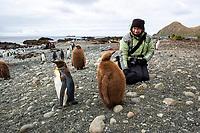 "Elyn Stubblefield photographing King Penguin (Aptenodytes patagonicus) juveniles or ""oakum boys"" on Sandy Beach, Macquarie Island, Australia."