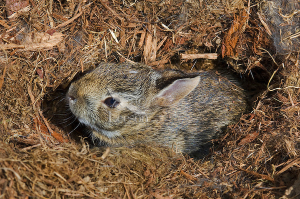 Eastern Cottontail (Sylvilagus floridanus) in Nest. One week to 10 days old, last bunny to leave the nest. Spring. Near Niagara Falls, Ontario. Canada.
