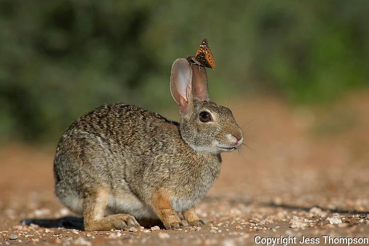Cottontail Rabbit, Santa Clara Ranch, Edinburg, TX