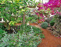 Greenhouse herbs with flowering bogenvia. The Thyme Garden. Alsea, Oregon