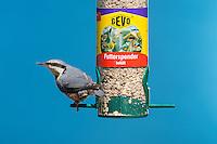 Kleiber, an der Vogelfütterung, Fütterung am mit Körnern gefüllten Futtersilo, Körnerfutter, Spechtmeise, Sitta europaea, Eurasian nuthatch. Ganzjahresfütterung, Vögel füttern im ganzen Jahr, Vogelfutter der Firma GEVO