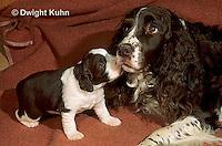 SH21-001z  Dog - English Springer puppies 3 weeks old