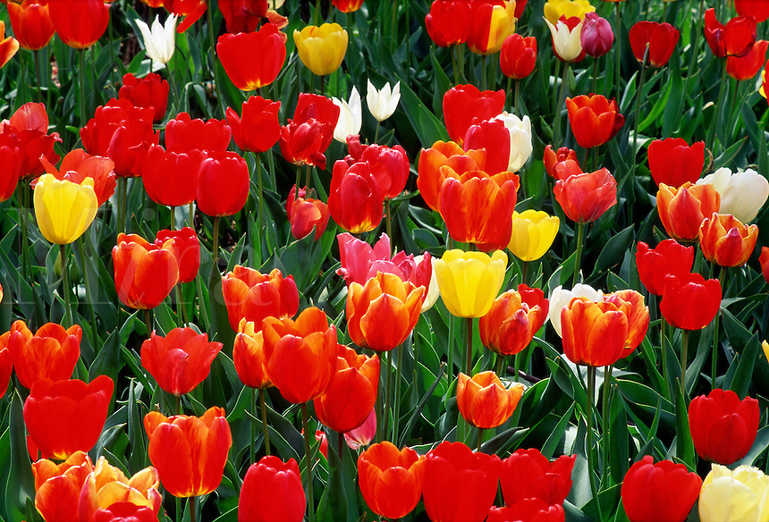 Tulips #5888.