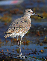 Willet in early April