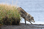 Gray Wolf huntong waterfowl at the edge of Izembek Lagoon. Izembek NWR, Alaska.