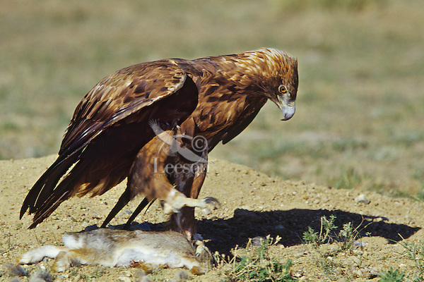 Golden Eagle (Aquila chrysaetos) with rabbit, Western North America.