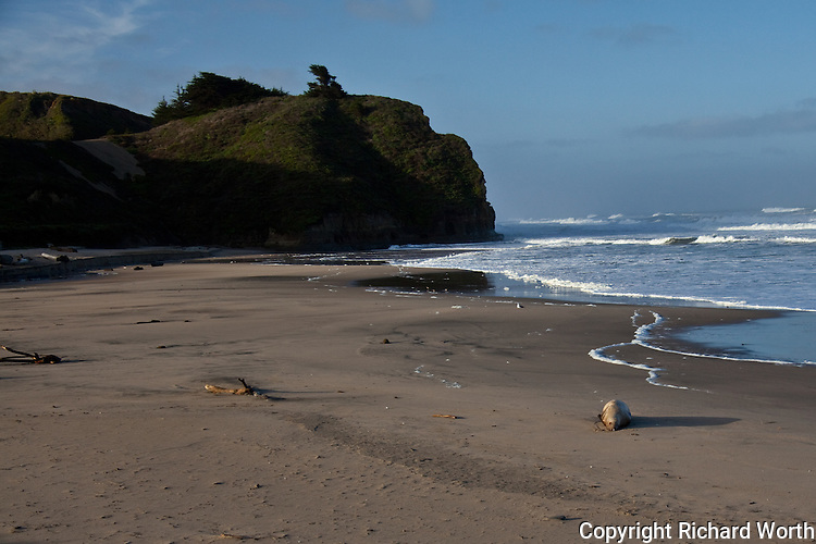 This Steller sea lion (lower right), a listed threatened and endangered species, was found on Pomponio State Beach, California.  Examination by the Marine Mammal Center found it died of 'undetermined causes'.  Another statistic.