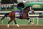 ARCADIA, CA - NOV 01: Spelling Again, owned by Sea Jay Racing LLC and trained by Brad Cox, exercises in preparation for the Breeders' Cup Filly & Mare Sprint at Santa Anita Park on November 1, 2016 in Arcadia, California. (Photo by Scott Serio/Eclipse Sportswire/Breeders Cup)