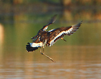 Black-tailed godwit landing