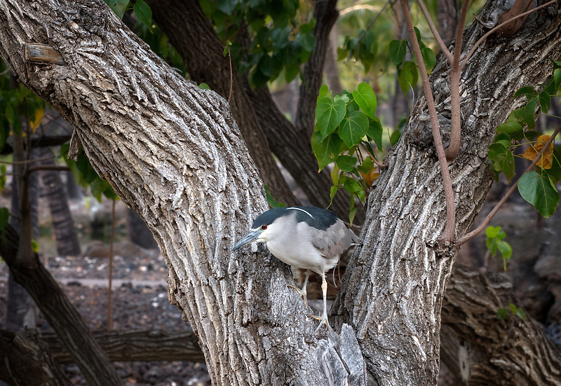 Heron in tree. Hawaii Island