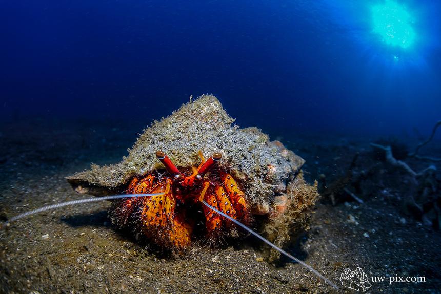 Hermit crab (Paguroidea) in Lembeh Strait / Indonesia