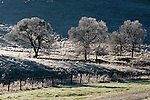 Frosty oaks on a cold winter morning in the Amador County Foothills of California