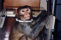 A rhesus macaque sits in a head restraint at a laboratory in the United States. The monkeys can be restrained in such chairs for hours each day and are experimented on for as long as they are able to survive...SINOPIX PHOTO