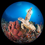 Misool, Raja Ampat, Indonesia; Fiabacet area, a Hawksbill turtle (Eretmochelys imbricata) begins to swim after feeding on a red sponge