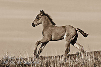 Mustangs McCullough Peaks Mustangs Wild Horse Photography by western photographer Jess Lee. Pictures of mustangs in the West. Fine art images,Prints,photos Wild horse photo,wildhorses in the american west,