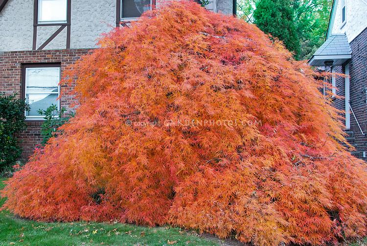 Acer Orangeola, cascading Specimen fall foliage tree orange Japanese maple Acer palmatum var dissectum in front of house