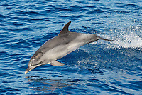 Atlantic Spotted Dolphin, Stenella frontalis, breaching clear of the water, north of Faial Island, Azores, Atlantic Ocean